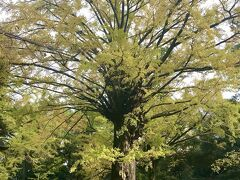 境内には樹齢400年の天然記念物の大銀杏があります! 手前の銀杏の写真を撮っていたのですが、奥にもっと大きな銀杏の木があったので、こちらの銀杏じゃなかったようです(笑)  紅葉の見ごろまではもう少し。