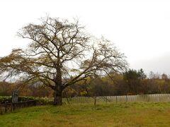 っとその前に豊富温泉にあるハルニレの木を見学。