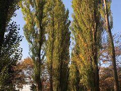 ポプラ並木です。すくすく。