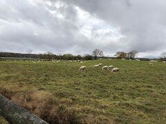 羊の他にアルパカもいるそうです