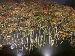 ライトアップされている紅葉した木々。