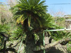南洋ムードの大蘇鉄 大蘇鉄・・・江戸時代初期の平戸にはオランダ・イギリスの東インド会社による貿易の窓口が置かれていた。 樹齢400年になるかと思われるこの大蘇鉄は、当時の貿易商、川崎屋の庭に植えられていたものという。