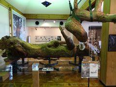これは「いのちの枝」といって、縄文杉から折れて落ちてきた枝だそうです。それにしても大きい!  ただ、ガイドブックに載っていた写真の展示などが見当たらず、やや消化不良気味で終了。どうやら、別館もあったそうです・・・  早く言ってよ・・・