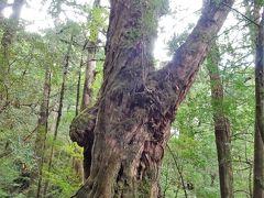 ただ、その幹の太さ。苔が纏わりついている幹。素晴らしい巨木です。