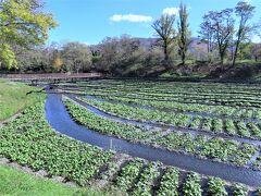 15haの敷地に5つの広大なわさび畑を持つ大王わさび農場