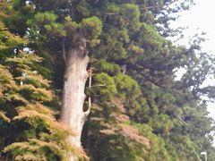 神橋のすぐ先にある杉の大木。 「太郎杉」と呼ばれているようだ。