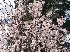 続いて、シドニー西100kmのブルーマウンテンズのルーラ Leuraを9月中旬に訪れます。ルーラも桜が有名ですが日本庭園ではなく世界の幅広い桜の種類が見られます。ルーラの町を散策してみます。これは日本の桜に近そうです。オーバーンの桜より薄いピンクです。残念ながら私は桜に詳しくないので種別まで説明できませんが。