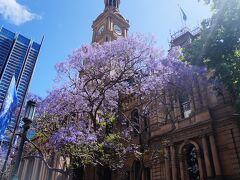次にご紹介するのは、春の終わり2020年11月上旬のシドニー各地で紫色の桜ジャカランダの花見の様子です。最初に向かったのはシドニーシティーのタウンホール。東京で言うと新宿駅の中心地で高層ビルに囲まれた場所ですが、ジャカランダの紫の花が咲いています。
