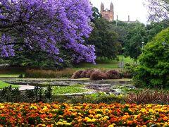 最後のジャカランダスポットはシドニー大学。ここは英国風の建物が並ぶ豪州で最も歴史のある大学(1850年開校)です。