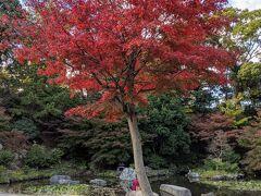 公園の紅葉が綺麗になってきました。