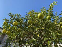 2日目よく見たら庭の木に柑橘がなっていました。