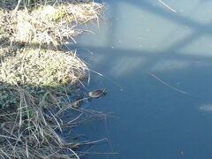 別所沼公園への道すがら、川があります。  水面に水鳥がいます。