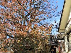 海福寺四脚門前の桜はまだあまり落葉していなかった