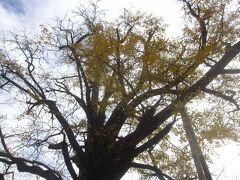 本堂脇のイチョウ だいぶ葉っぱが落ちてしまっていますが、本堂側の銀杏は都指定の天然記念物になっています