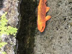 外に出ると近くの水路にも鯉が泳いでいます。