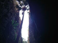 更に、足元も不安定ながらガンガン奥までいき、  岩下をくぐりながら下の方へ降りていくと、かなりの高さで岩が割れている空間に出ます  そこに生える1本のダイトウビロウの木が、天を目指していて、神秘的な空間です
