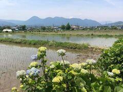 紫陽花と田んぼと青空と山の稜線のカルテット、小さめながら富士山を加えクインテットに。