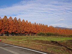 9時頃着きました。 メタセコイア並木道。 へ~。絶景ですね。まるで北海道にでも来た気分。