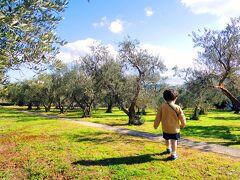 オリーブ公園入口にて下車。 400m程歩きますとオリーブ畑が。