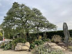 ビーチ沿いに歩いてお宮の松まで来ました。この木は二代目らしい。
