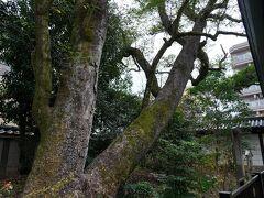 油小路通が今出川通に出会う角に、白峯神宮と言う社が建っていた。 崇徳上皇を祀った社で、江戸時代までは、藤原北家の庶流である飛鳥井家の邸宅が建っていたそうだ。 かの『枕草子』に挙げられている九つの井戸ひとつ『飛鳥井』は、この敷地内にあったらしく、その傍らにあったというオガタマノキは現存していた。 樹齢800年は経っているそうだ。
