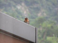 朝起きてベランダから外の景色を見ようとしたら燕がいました。