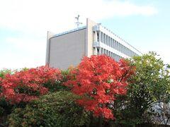 モミジの紅葉と目黒区総合庁舎