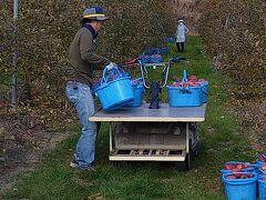 午前8時30分、御牧ケ原の林檎畑に到着です。すでに地元の林檎娘(?)さんたちが収穫を開始していました。次男さんが早速収穫された「ふじ」を集積しています。