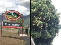 Freshwater駅からキュランダ観光が始まります。 駅の側の木に実がたくさんなっていて、食べられる実なのか すごく気になりました。<- 食い意地張ってる(笑)