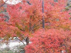 渡月橋から天龍寺へ向かう途中に 美しく紅葉している紅葉がありましたので 撮影しました。