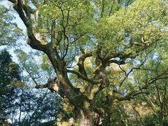 熱田神宮の大楠 弘法大師が植えた伝説がある楠で、樹齢は約1000年になんだそうです
