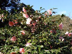 椿園 この時期の開花状況は 1割咲き という感じでしょうか?  椿園そのものは広いです