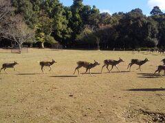 春日大社に棲む大集団(100頭くらい)の鹿さんグループは なかなか姿を現しません。 ホルンの音が鳴っても臆病で慎重な彼らは森の奥でこちらの 様子を伺っているようです。 (今日の観光客さんたちは優しくて気前が良さそうかな?) 暫くすると最初の一頭が姿を現しました。 大きめの鹿です。 きっと群れのリーダーなのでしょう。 後ろに大勢の鹿さんが今を遅しと控えています。 リーダーの彼(彼女かもしれませんが)はゆっくりと 飛火野の広場に歩み出て係の人を通り過ぎ観光客の方へ向かいます。 彼の後ろから中型の鹿さん達やまだ幼そうな小鹿さんたちが ぞろぞろ続いて姿を現しました。 先頭が走るとつられて走って来るそうです。 奈良公園の有名な鹿寄せと餌やりイベントが始まります。