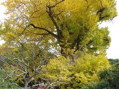 獅子舞下山後、荏柄天神社に立ち寄る。高さ25m、幹周り10mの御神木の大銀杏は、樹齢900年程度と推定されている。