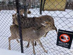 エゾシカ。もう動物園というより日常の風景。