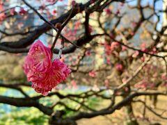 浜離宮に到着♪  まだ12月だというのに既に梅の花が咲いていましたが、早咲きの梅でしょうか?  ちなみに浅草から浜離宮までのチケットは、浜離宮の入園料が含まれています。
