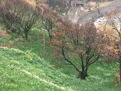 越前水仙の里を訪ねました。最盛期であれば斜面が水仙でいっぱいになるそうですが、まだちらほらとしか咲いていませんでした。
