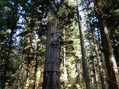 羽黒山の爺スギ。推定樹齢 1000年以上。 近いと上が写らず。