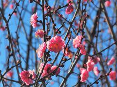 八重寒紅。濃紅色で、八重ならではもボリュームのある花が目を惹きます。