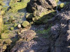 ヒトエグサに加えて、新しい海苔も育って来て付着しています