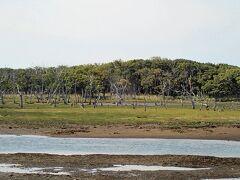 ナラワラというミズナラやダケカンバの木が 立ち枯れした林も見えます