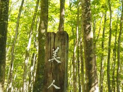 「美人林」びじんばやし  すごいネーミングだと思いましたが、 大正末期に薪にするため全て伐採したブナの木が一斉に芽生えて、 林に再生したそうです。 幹の太さが揃っていてスッキリとしたまさに「美人」の林です。  今は、「映えのスポット」でインスタにも載るようになりました。