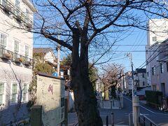 立会川緑道は桜並木になっていて、桜が満開の頃は結構綺麗です