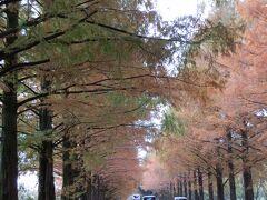 約2.4kmのメタセコイア並木を歩き始めます。