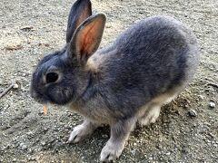 船を降りてすぐの所に早速いましたウサギさん(^^) 船着き場の近くのウサギは観光客にいっぱい餌を貰うので食いつきが悪いとの口コミを見ましたが、ピーラーでスライスしたニンジンを食べてくれました。 うちの子もラビットフードよりニンジンが大好きでした。  (10:43)