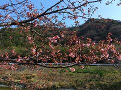 保田川頼朝桜の里。なるほど咲き始めです。