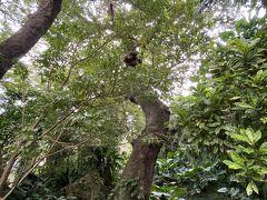 この木は、毎回、お願いごとしにきます 今回は友人の息子の大学合格祈願、息子の就職祈願です 首里城公園から歩いてすぐの首里金城の大アカギ 不思議なパワーを感じます