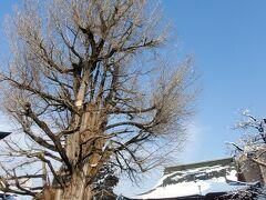 国指定天然記念物「大銀杏」と室町時代建立の重要文化財「飛騨国分寺 本堂」  大銀杏の樹齢は推定1250年以上で、高さは約28メートル有るそうです。
