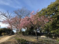 頂上にある亀ヶ岡広場。河津桜がきれい。