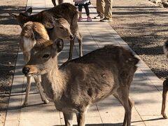 車で奈良公園へ! 鹿がお出迎えしてくれます。 可愛いですね~☆